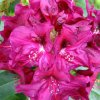 rhododendron10