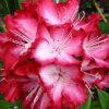 rhododendron7