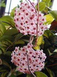 http://floral-carnival.ru/img/hoya.jpg
